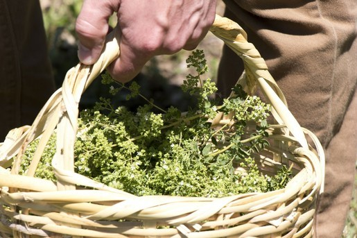 ktima-bellou-farm-collecting-oregano_2
